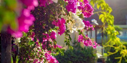 Blomstrende bougainvillea er et vanlig syn på Kreta