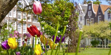Tulipaner i Amsterdam, Nederland.