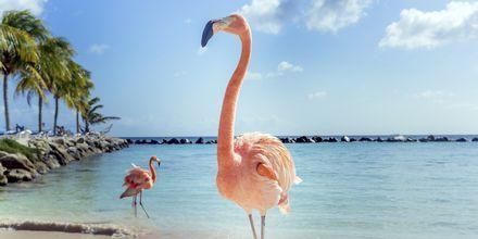 På det velkjente Flamingo Beach i Aruba bor seks rosa flamingoer.