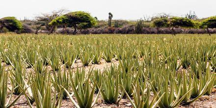 Aruba er kjent for sin Aloe Vera som fremstilles på en familieeid fabrikk.