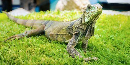 Den grønne iguanen, eller Iguana iguana som den heter lokalt, lever på Aruba og kan bli opp til to meter lange.