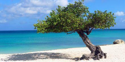 Dividivi-trærne er en signatur for Aruba. Takket være den vestlige vinden er alle planter bøyd i en tjue graders vinkel.