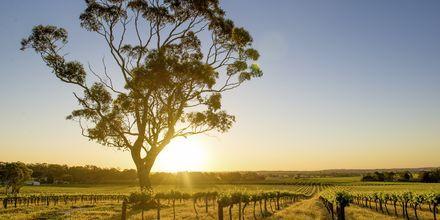Barossa Valley er kanskje Australias mest kjente vindistrikt