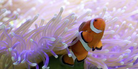 Klovnefisk i Great Barrier Reef