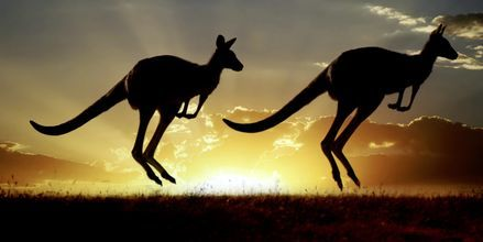 Kenguruer finnes naturlig bare i Australia