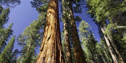 Mektige sequoia-trær i Redwood National Parks.