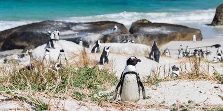 Afrikanske pingviner på stranden Boulder's Beach i Cape Town.