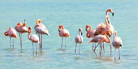 Curaçao er et beskyttet habitat for flamingoer.