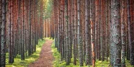 Skogen i Lahemaa nasjonalpark, Estland.