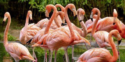 Vakre rosa flamingoer