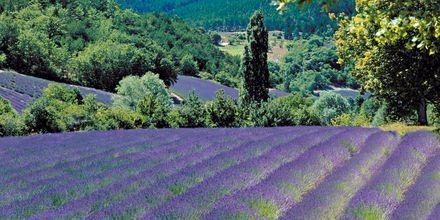 Lavendelmarker i Provençe