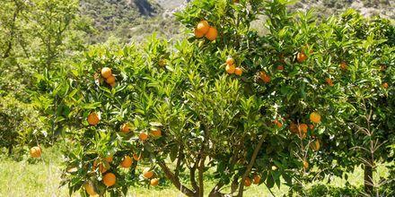 Appelsintrær i Gerani