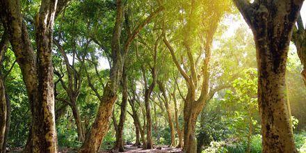 Tropisk spasertur til Honolua Bay Beach på Maui, Hawaii.