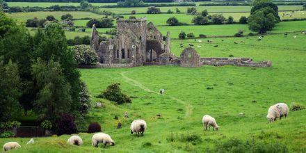 Et vanlig syn i Irland: Masse får, gamle festninger og slott.