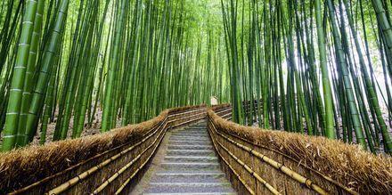 Bambusvandring i skogen Arashiyama i Kyoto, Japan.