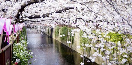 Kirsebærblomstringen – Sakura – er en populær grunn til å besøke Japan om våren.