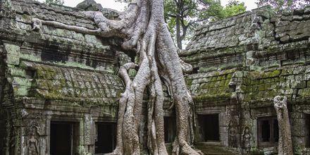 Trerøtter som har angrepet Taprom tempelet