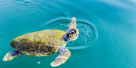 I Argostolis havn spiser havskilpaddene sin frokost.