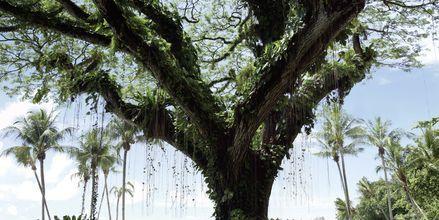 Et av flere fantastiske Albazia-trær i Batu Ferringhi, Penang. Her fra hagen til Shangri-La's Rasa Sayang Resort & Spa.