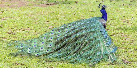 Påfugl i Casela Park på Mauritius.