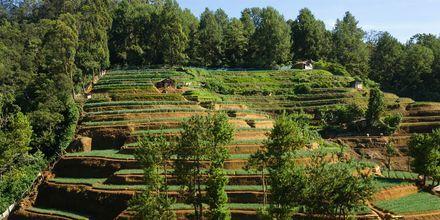 Teplantasjer i Nuwara Eliya