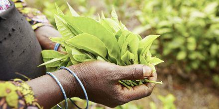 Ceylonte er et begrep over hele verden