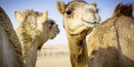 Dromedarer i Oman