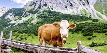 På en vandring i Østerrike støter du på masse kyr.