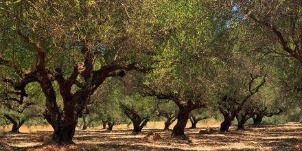 Olivenlund i Makrigialos