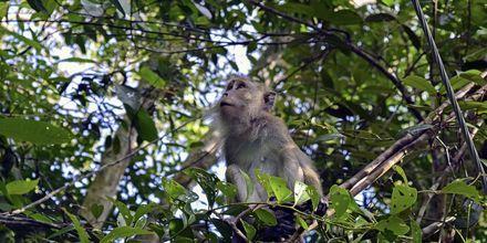 Det vil overraske oss om du ikke møter 1 eller 100 aper i løpet av ferien din på Penang.