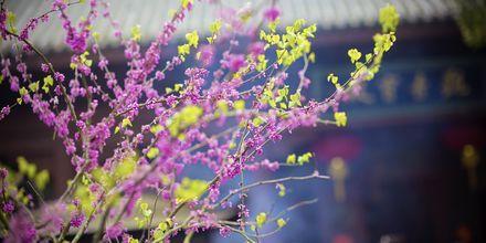 Kirsebærblomstring i Shanghai.