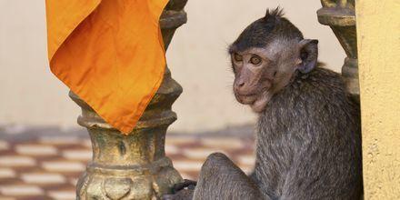 En apekatt i tempelet