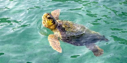 I havna i Argostoli inntar havskilpaddene sin frokost