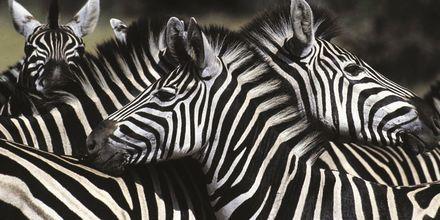 Sør-Afrika – Sebra i flokk