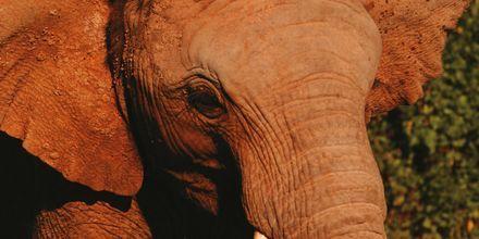 Sør-Afrika – Elefanten treffer man på safari i blant annet Krugerparken