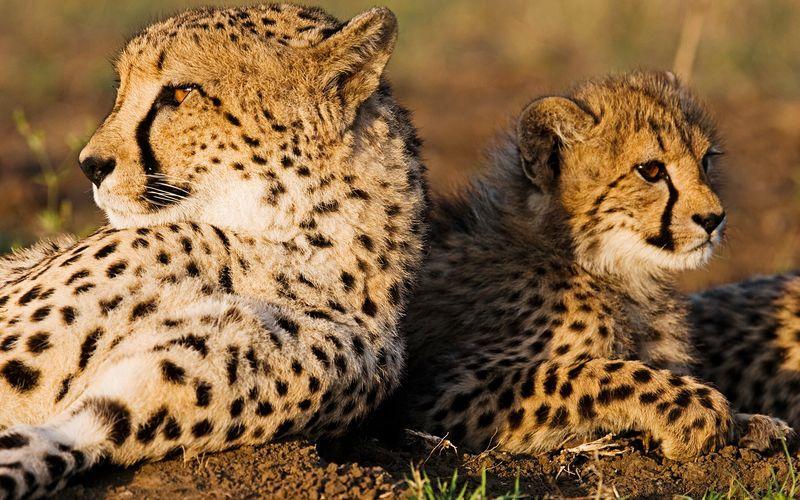 Sør-Afrika – Leoparden, verdens raskeste dyr