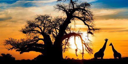 Sjiraffer i solnedgang
