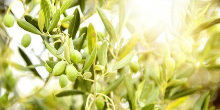 Svoronata byr på grønne og vakre olivenlunder.