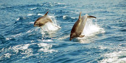 Delfinene holder til i Atlanterhavet