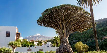 Treet El Drago Milenario på Tenerife