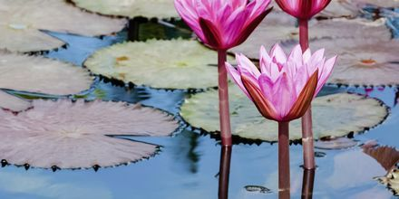Rosa vannliljer på Tobago