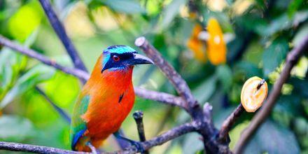 Motmot-fugl på Tobago