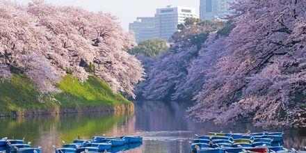 Kirsebærblomstringen, Sakura, er en vakker tid på året i Tokyo.
