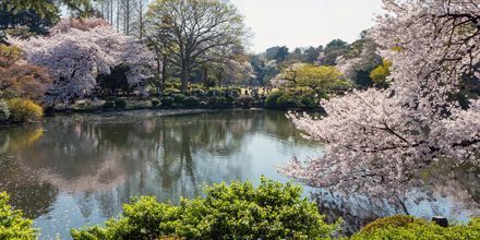 Over hele byen blomstrer kirsebærtrærne mellom mars - april, noe hele byen feirer.