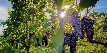 Er du først i Toscana så bør du ikke gå glipp av et besøk på vingård. Her kan du smake på regionens gode viner.