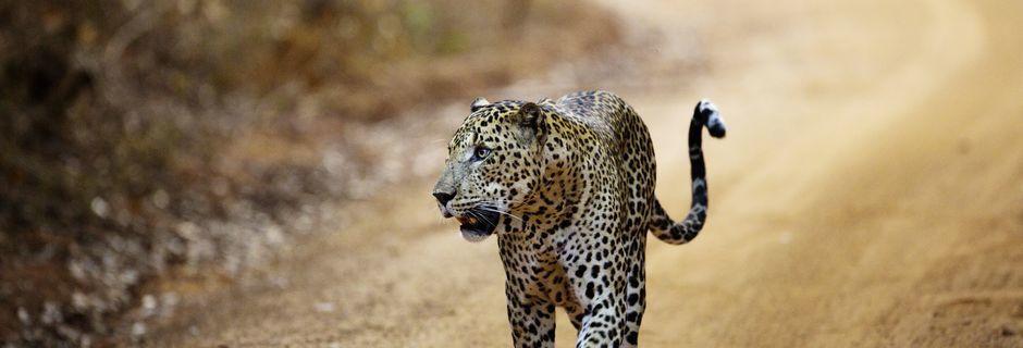 Leopard i Yala National Park