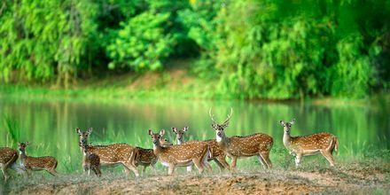 Hjort i nasjonalparken